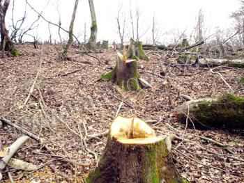قطع درختان در البرز